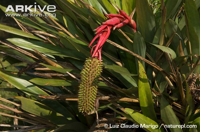 Bromeliad Aechmea ornata