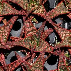 Aloe Christmas carol