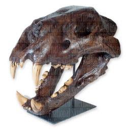 American Lion Skull