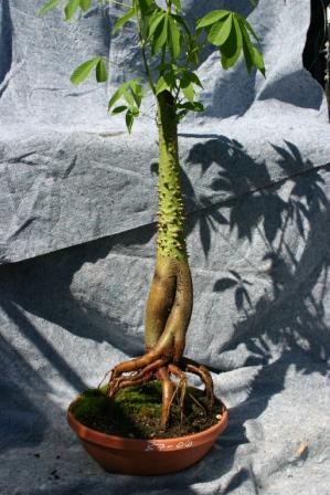 Bonsai Silk Floss Tree