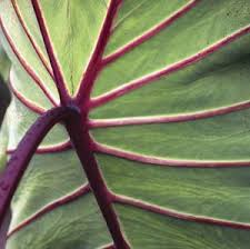 Colocasia  Red Stem