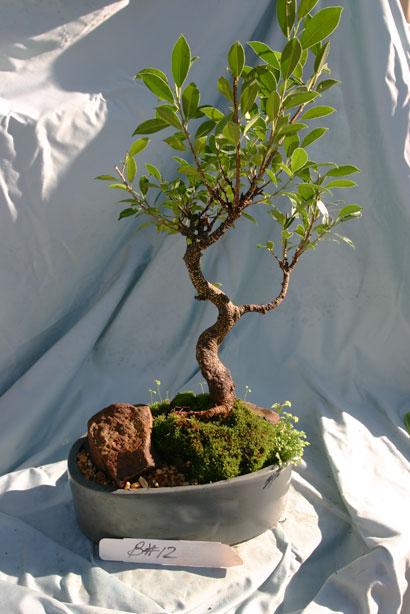 Ficus Banyan Dish