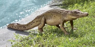Walking Alligator Sculpture