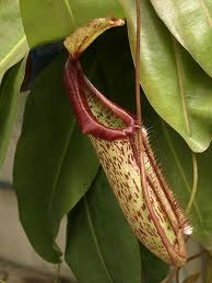 Napenthes Pitcher Plant