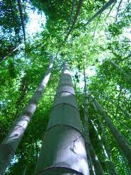 Moso Giant Timber Bamboo