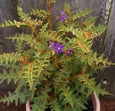 Porcupine Tomato Plant