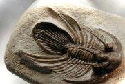 Trilobite Kolihapeltis rabatensis
