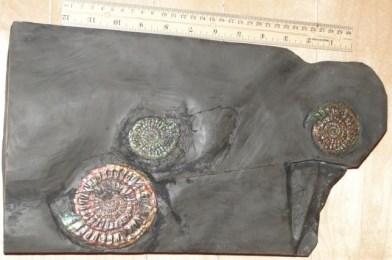 Caloceras Johnstoni Plate
