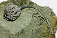Musuem Quality Crinoid Fossil