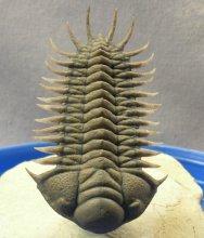 Trilobite Crotalocephalus aff. africanus
