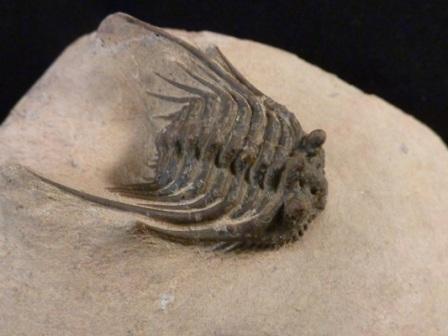 Leonaspis Trilobite