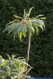 Tree Dandelion