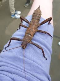 Thorny Devil Stick Insect