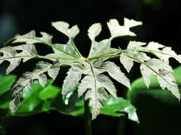 snowflake Arailia