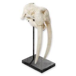 Walrus Skull