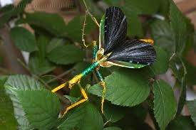 Achrioptera punctipes Stick Insect