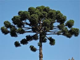 Araucaria Bidwillii, Bunya Pine