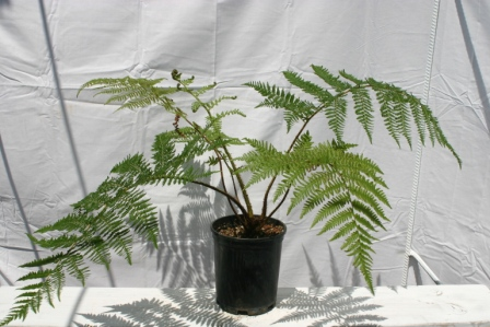 Black Tree Fern, 1gal