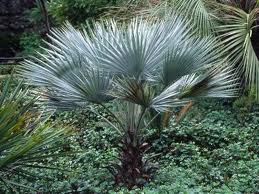 Mexican Blue Fan Palm