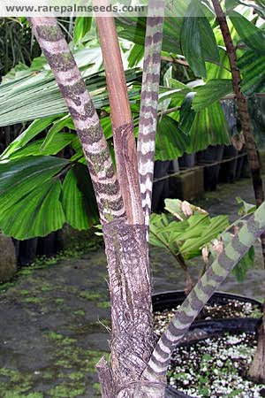 Zebra Palm