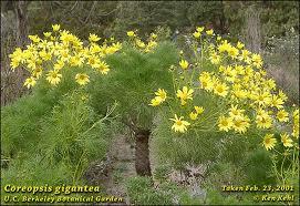 Giant Coreopsis