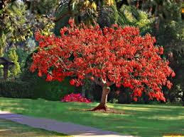Cockspur Coral Tree