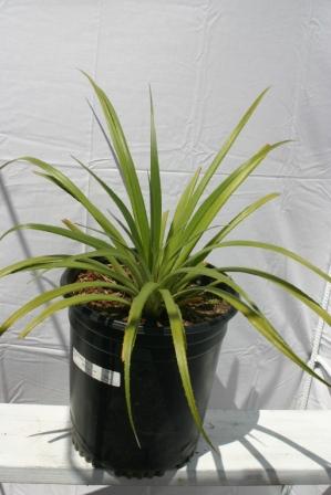 Fascicularia pitcairnifolia