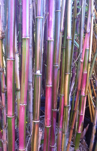 Candy Stripe Bamboo