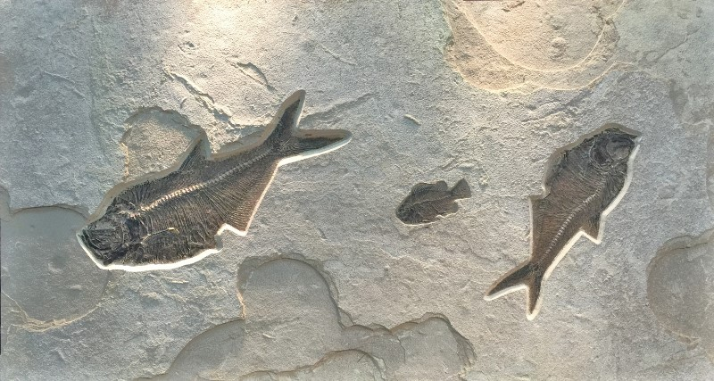 Diplomystus dentatus and Cockerellites liops fish fossils
