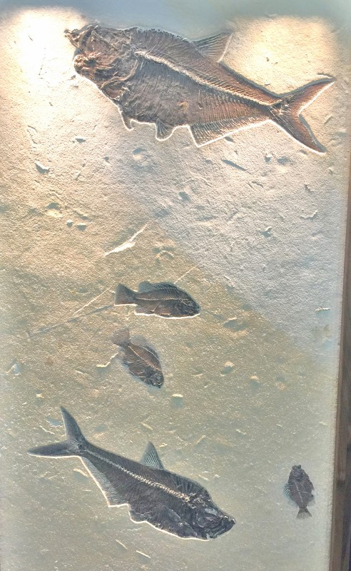 Five Fish Fossil Specimen