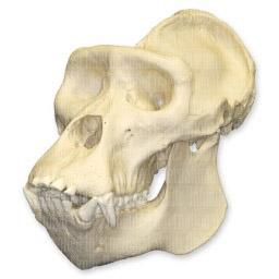 Mountain Gorilla Skull