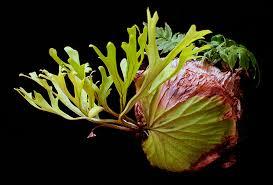 Platycerium ridleyi