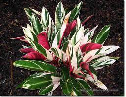 Stromanthe sanguinea 'Triostar'