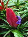 Bromeliad Pink quill