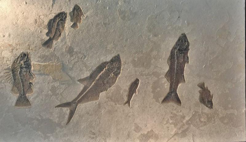Seven Fish Fossil Specimen