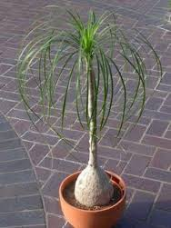Verigated Pony Tail Palm