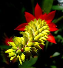 Bromeliad aechmea nudicaulis