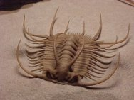 Trilobite Boedaspis ensifer