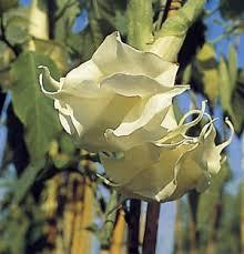 Brugmansia arborea double white