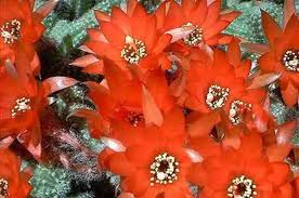 Peanut Cactus
