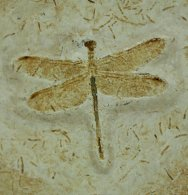 Giant Dragonfly Fossil