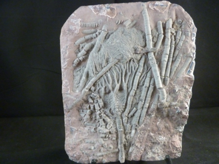 Large Crinoid Fossil