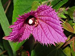 Costa Rican Butterfly Vine