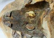 Rare Amphibian Fossil