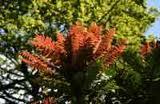 Mahonia lomarifolia