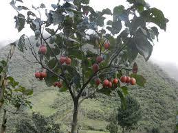 Peruvian Tree Tomato